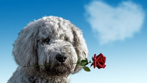dog holding rose in mouth with heart cloud in background