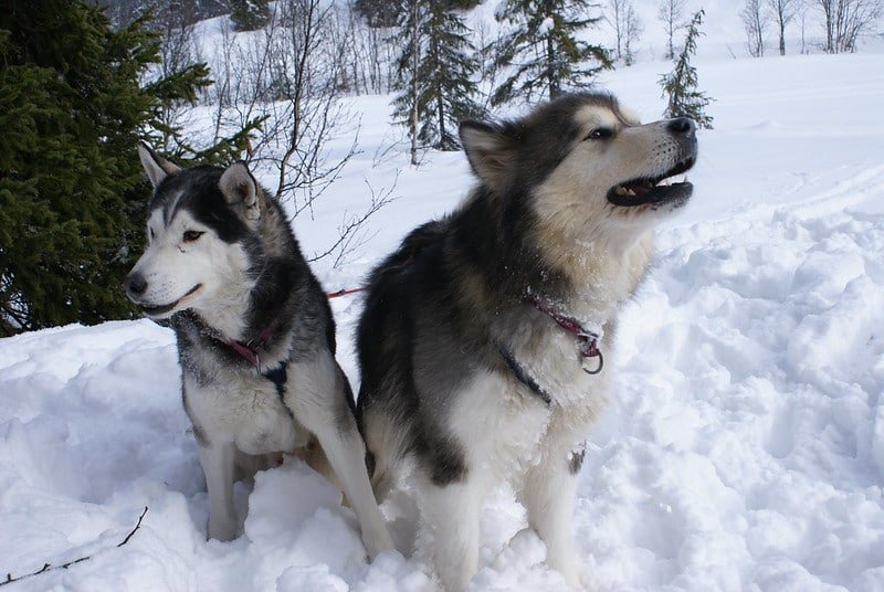 husky and malamute