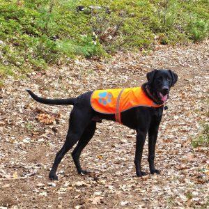 dog wearing SafetyPUP XD reflective dog vest for running in spring
