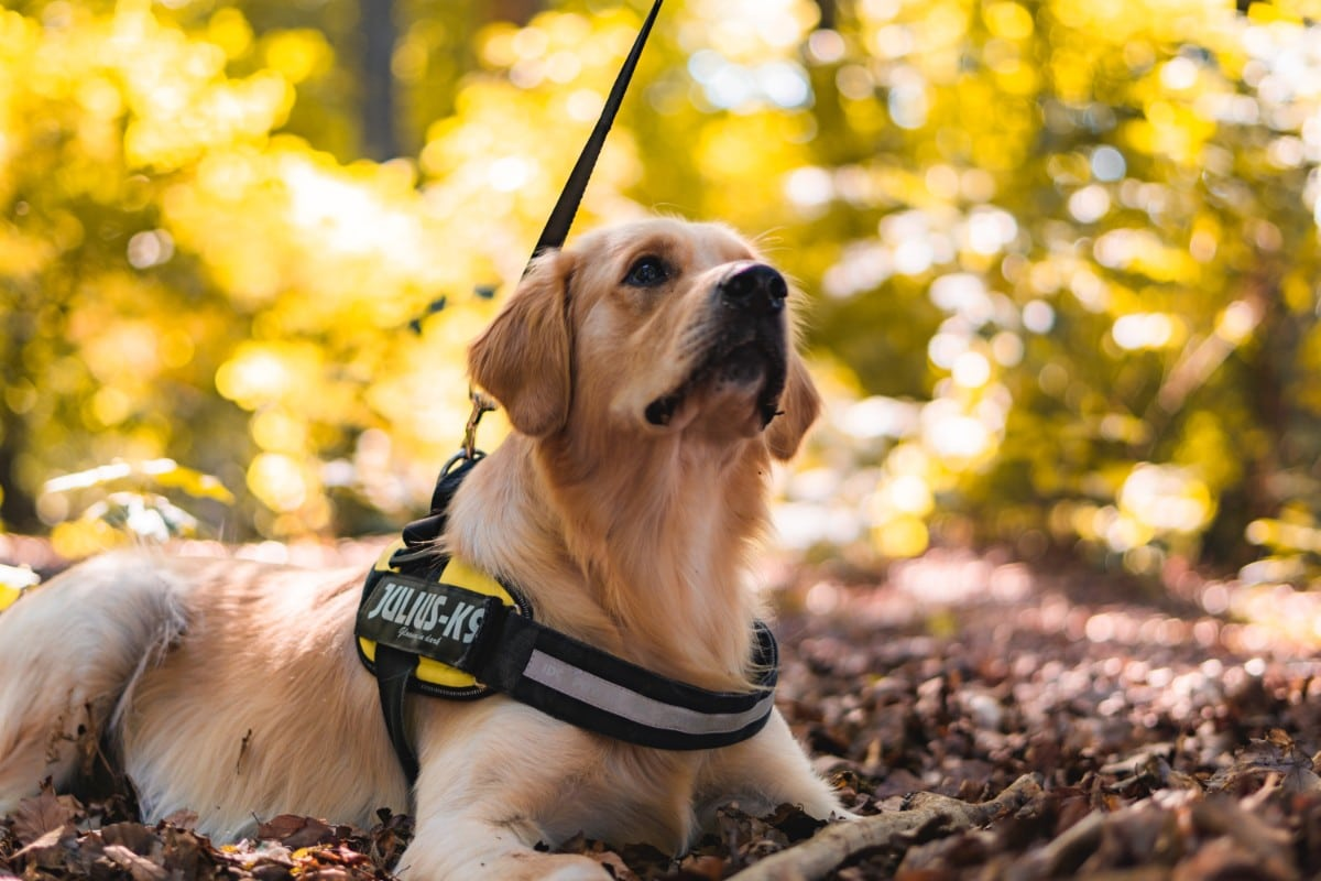 A dog in a K-9 harness looking attentively at its owner, who is standing off screen.