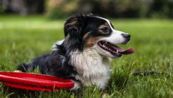 A dog with black, white, and brown coloring smiling in a field of grass, next to a red toy.