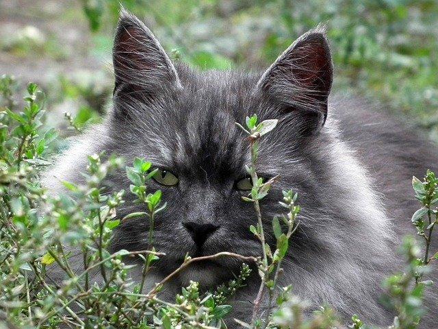 Siberian cat - Pixabay