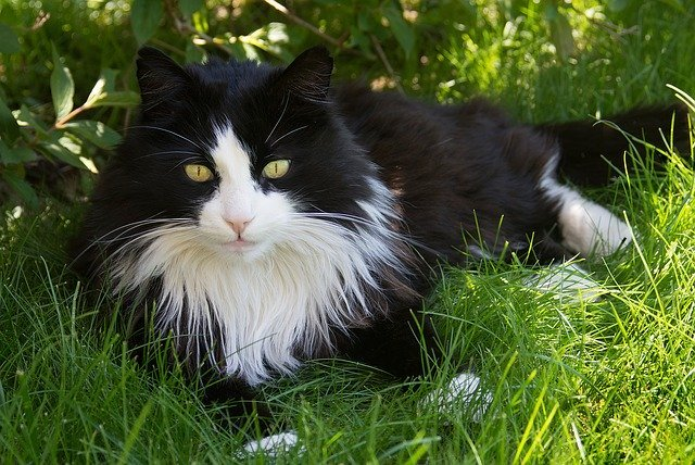 Long-haired cat - Pixabay