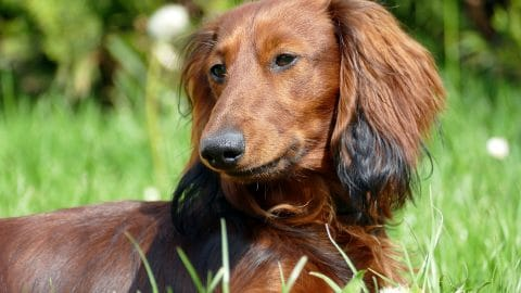 The Best Dog Food for Dachshunds in 2020