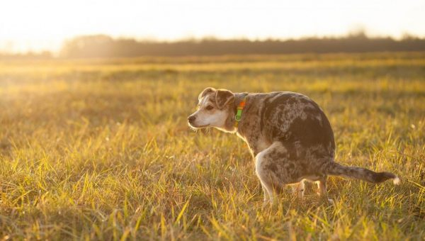 dog pooping in field