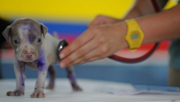 puppy getting examined with stethoscope