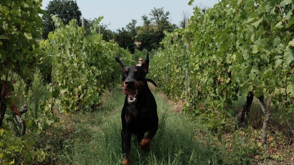 A Doberman runs gleefully through a vineyard