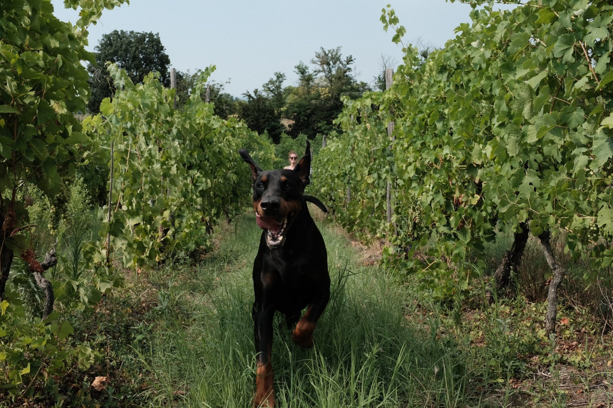 Can Dogs Drink Wine Why Sharing Wine With Your Dog Can Be Fatal