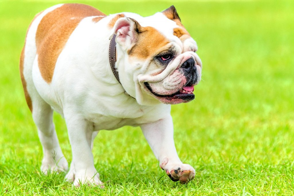 English Bulldog Vs French Bulldog What S The Difference