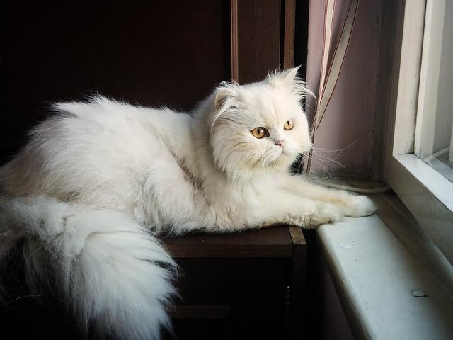 Persian cat - Pixabay
