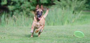 athletic dog running