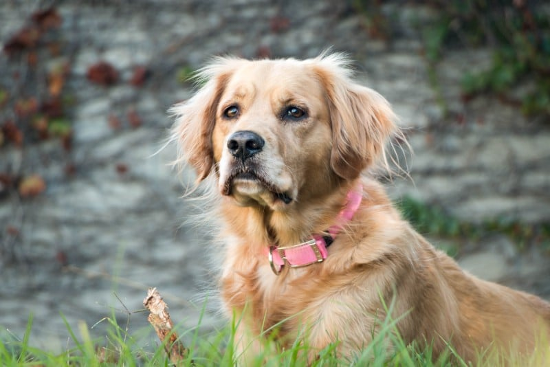 A golden, medium-haired dog with a pink collar.