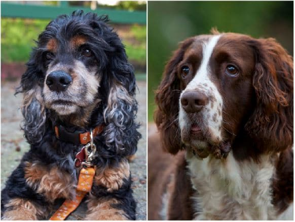 Cocker Spaniel Vs Springer Spaniel What S The Difference