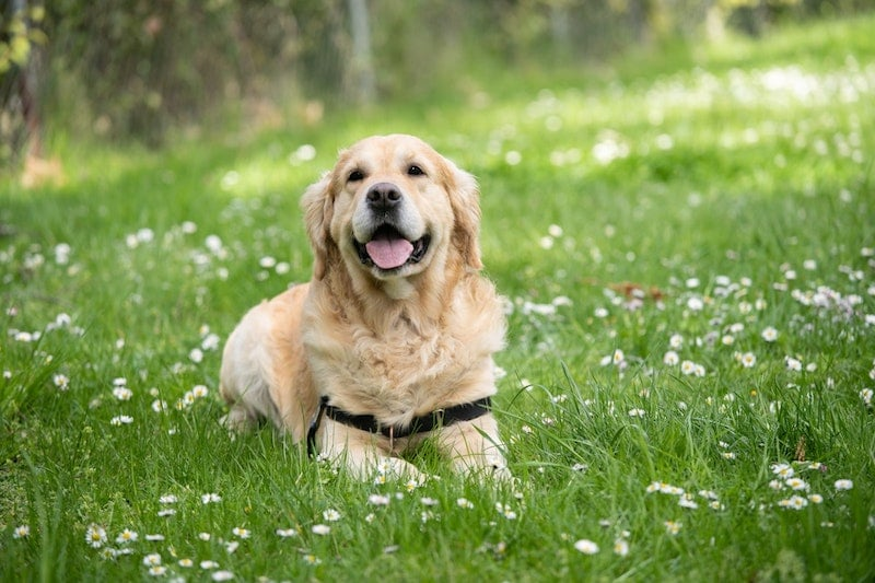 A golden-colored dog smiling in a field.