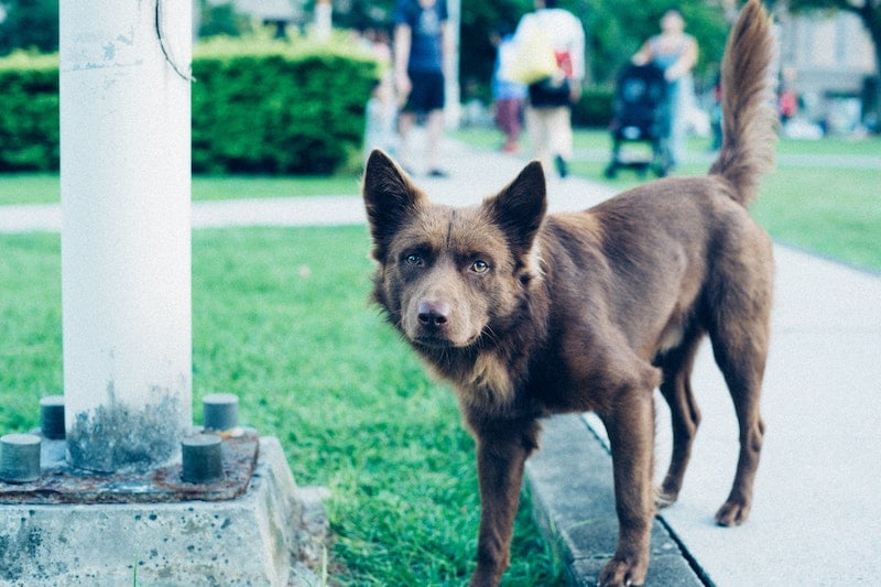 A brown dog with pointed ears standing in a park.