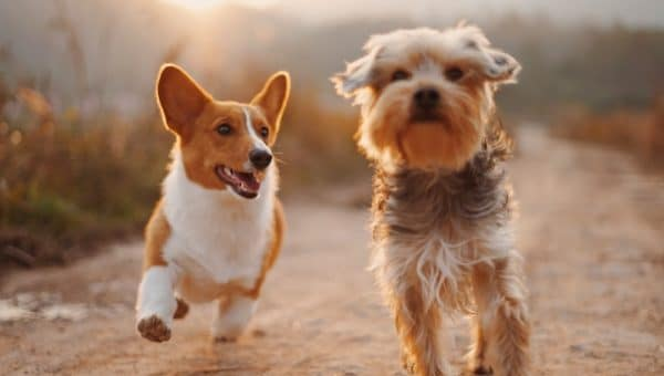 Two small dogs, a corgi and a terrier, happily trotting along a dirt trail.