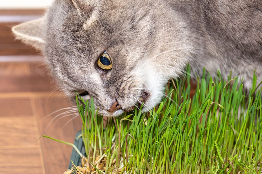 Cat-Safe Grass - 123RF