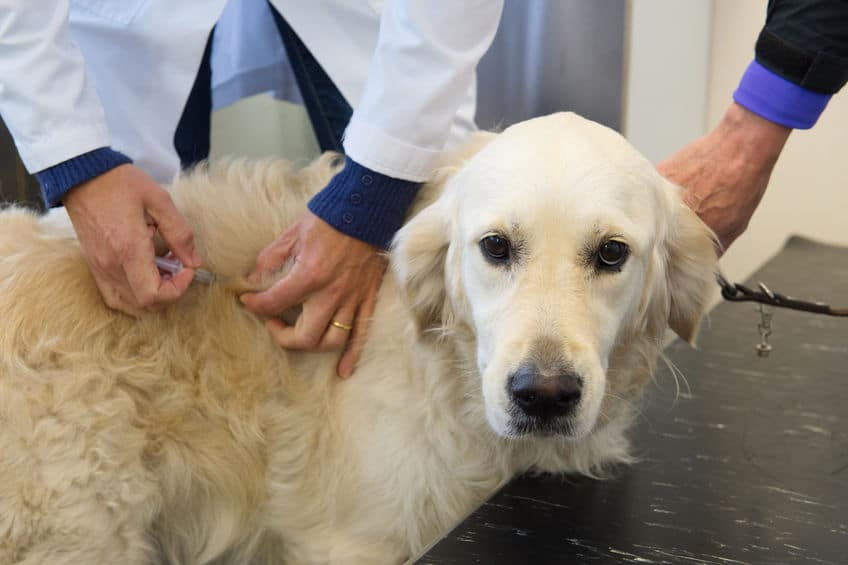 Dog Receiving Immunotherapy - 123RF