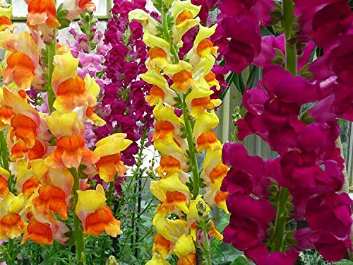 a colorful stand of snapdragon flowers