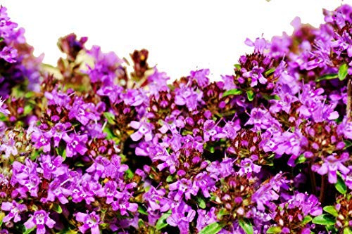 flowering and creeping thyme