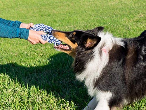 collie playing with blue and white rope ring