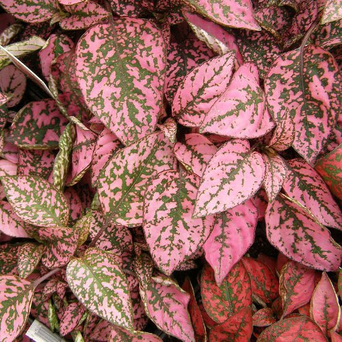 pink-and-green leaved polka dot plant