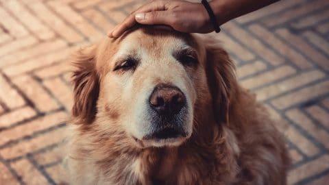 cancer chez le chien : vieux golden retriever