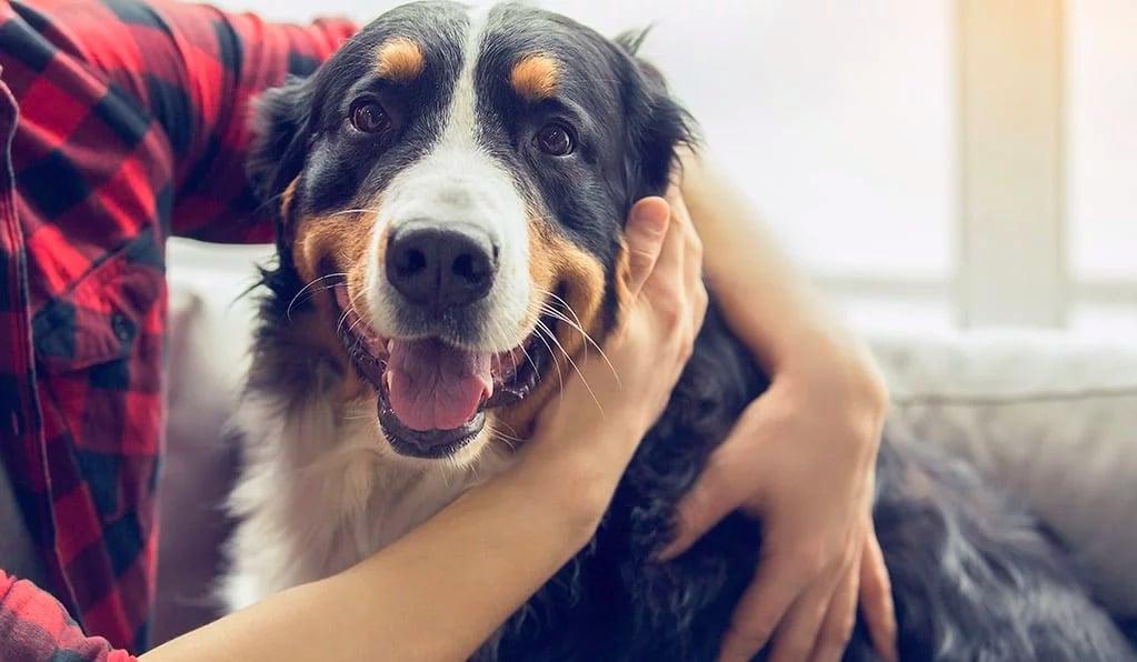 les chiens et le coronavirus