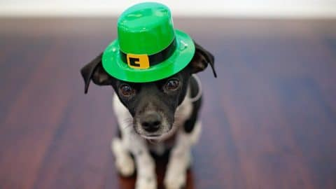 dog st. patrick's day