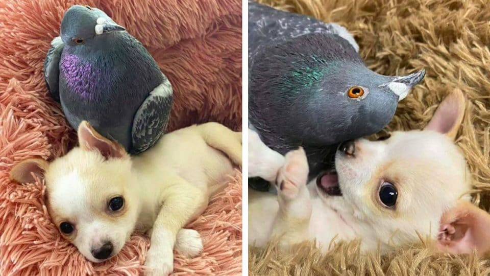 Flightless Pigeon and Special Needs Chihuahua Become Bffs and the World Loves Every Minute of It