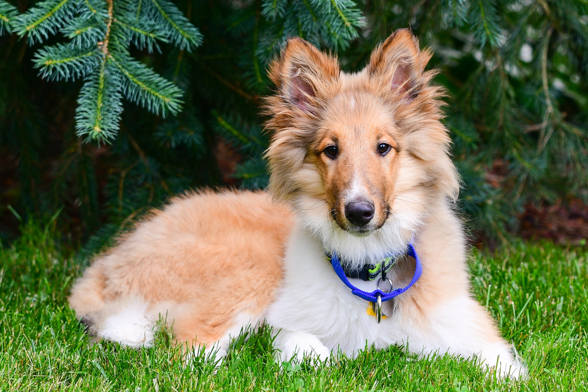 Rough Collie Puppies Everything A New