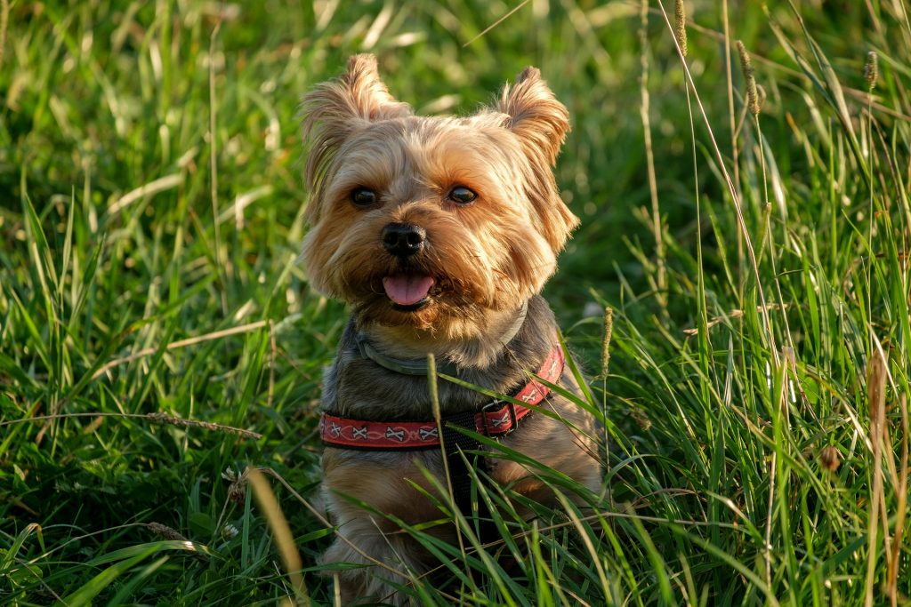 Best Food For Yorkies The Best Food For Yorkies In 2020