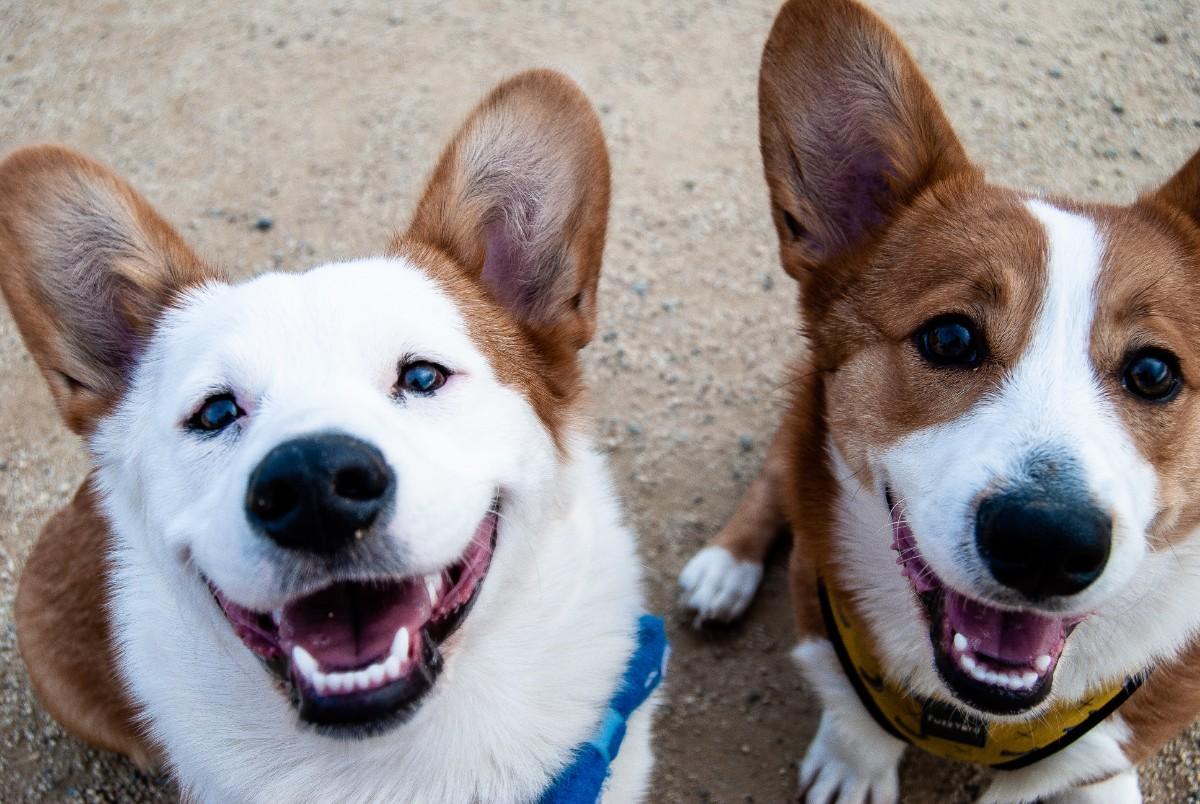 Two Corgis looking up at the camera, smiling.
