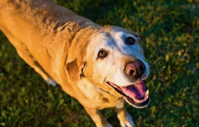 vieux chien qui sourit
