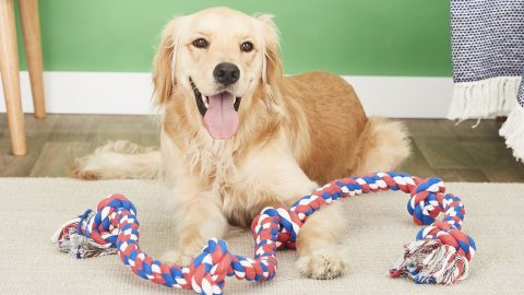 golden retriever with red white and blue rope toy