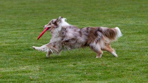 Aussie running with sustainable dog toy
