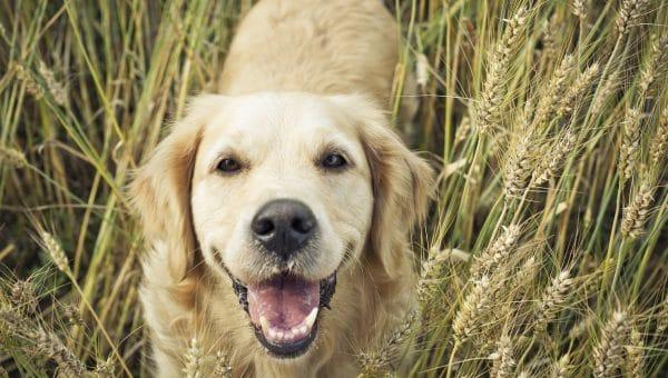 smiling golden retriever in a wheat field