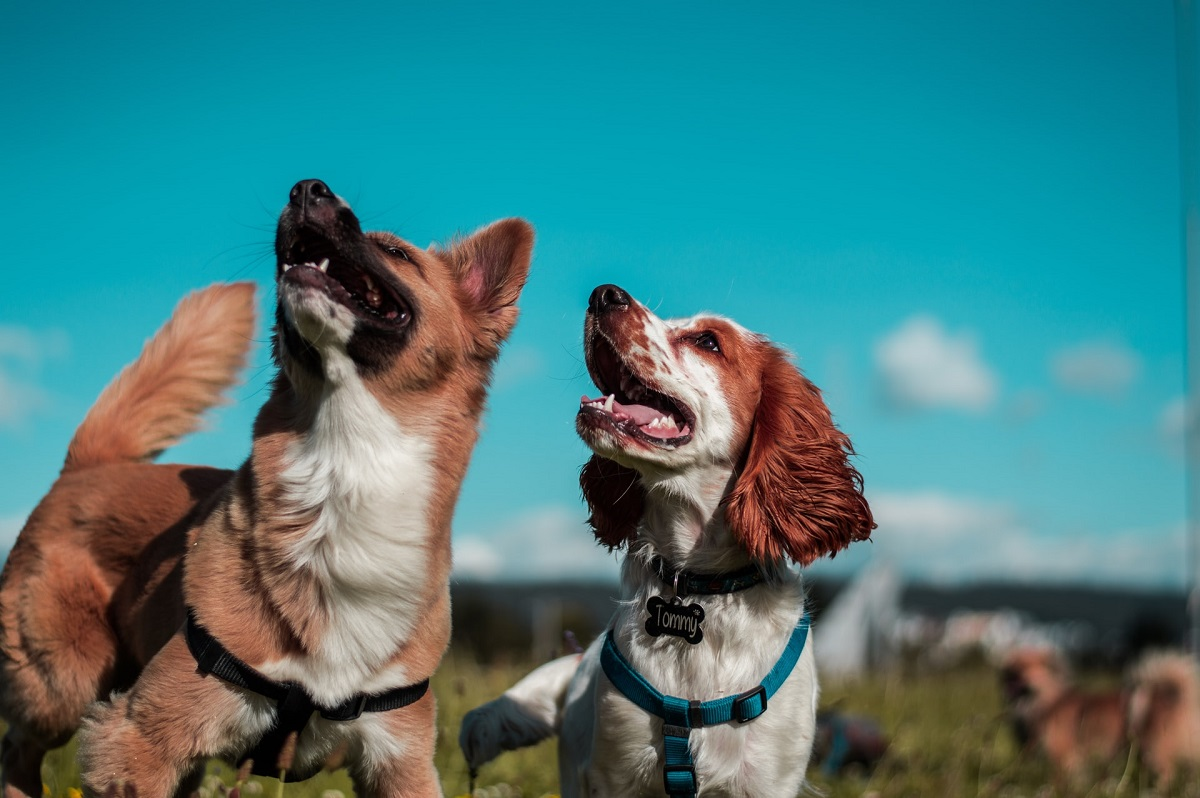Two brown and white dogs smiling and looking upward.