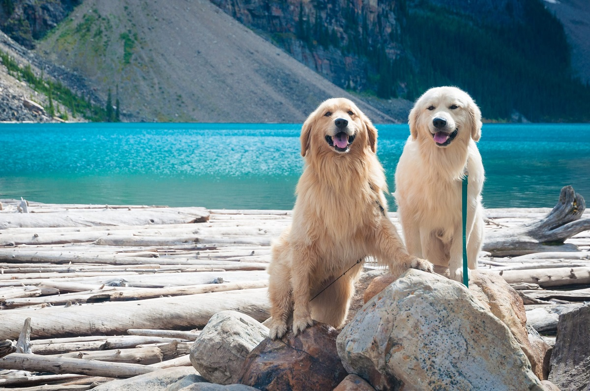 Two Retrievers standing along the water's edge. They're facing the camera and smiling.
