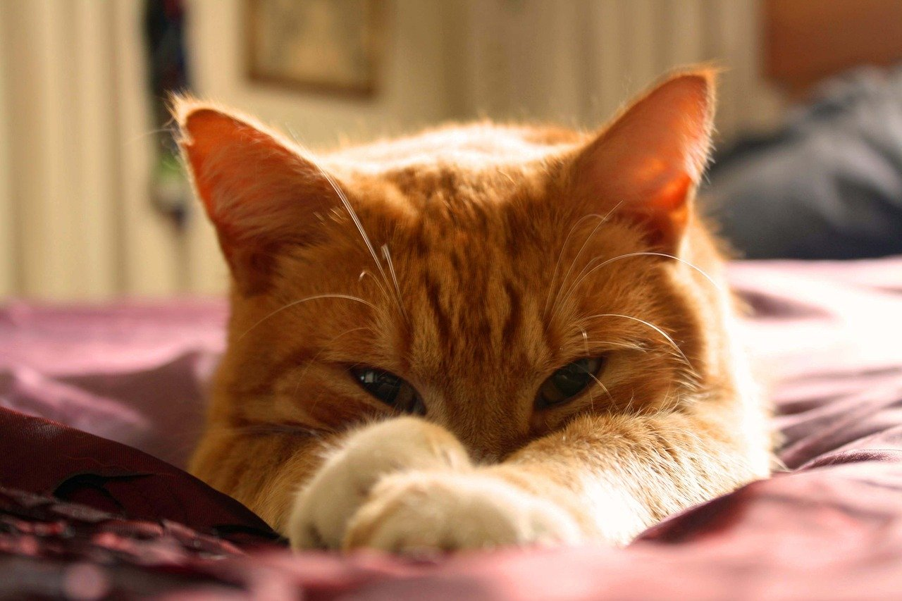 10 Orange Cat Breed Facts That Will Only Deepen Your Appreciation