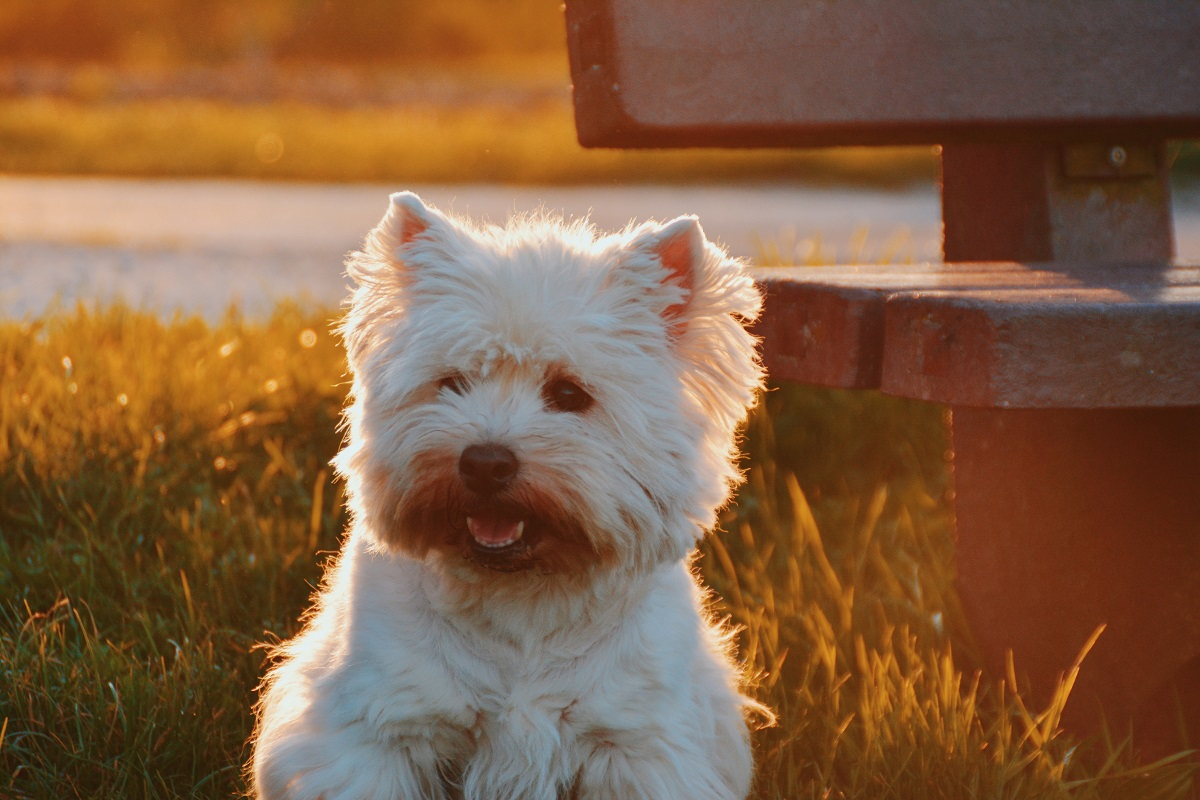 A small white dog sitting in the grass and smiling.