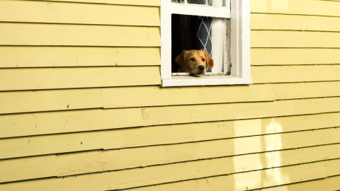 A dog staring out of a window of a yellow house.