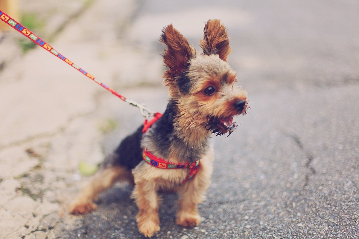 A small terrier on a lead, excitedly looking at something off to the side.
