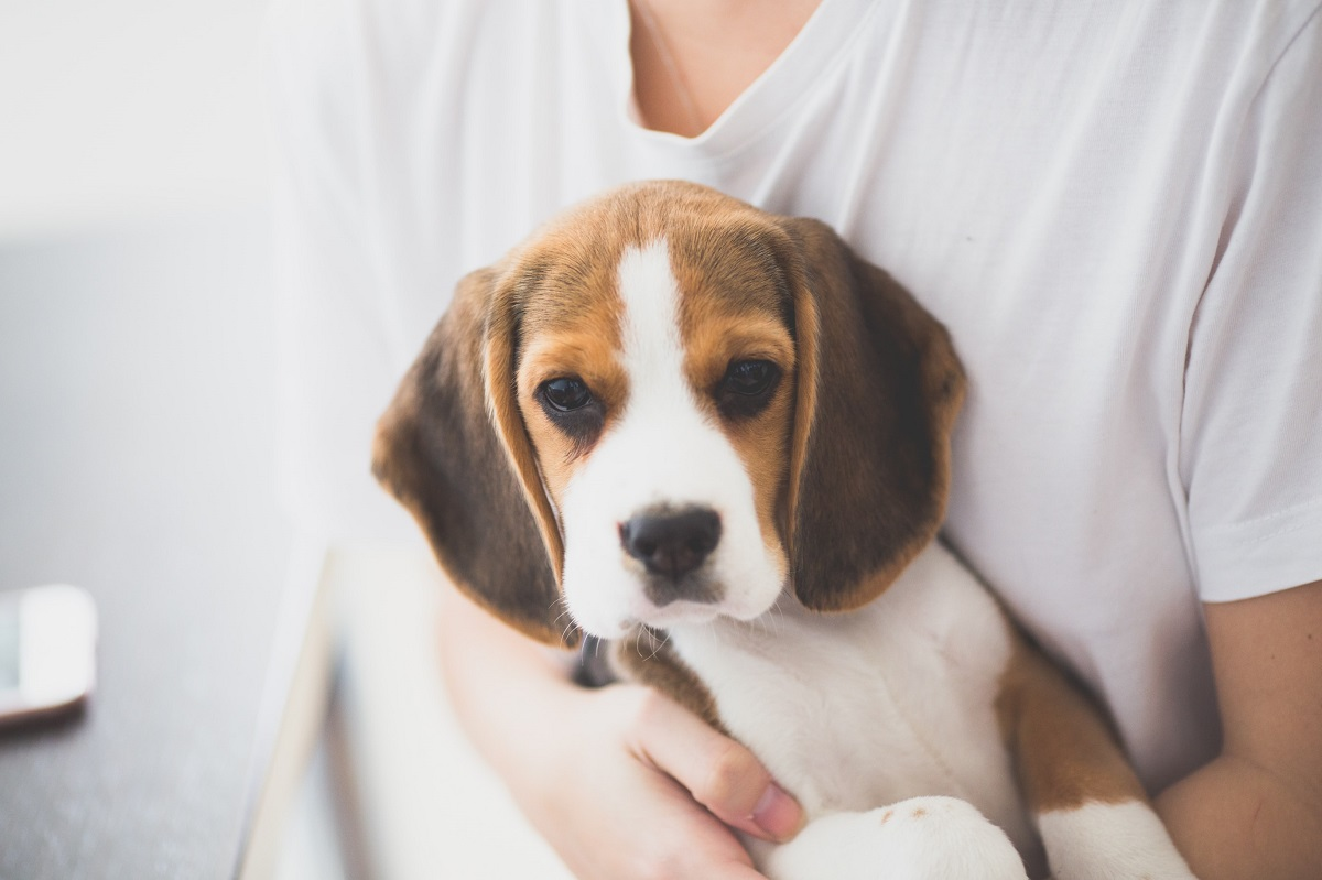 A person in a white t-shirt holding a Beagle puppy.
