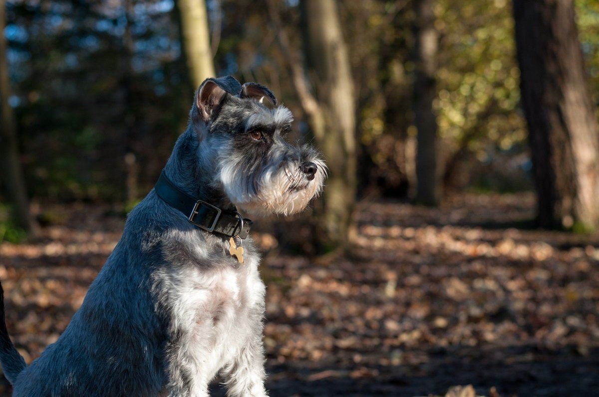 A mid-sized terrier in the woods.