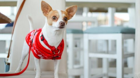 A small dog wearing a red sweater and a red harness.