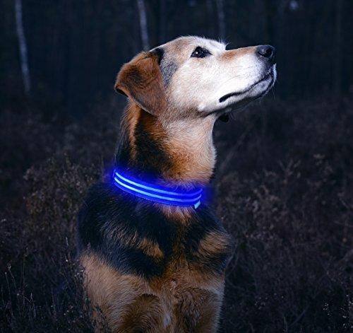 dog wearing glowing blue LED dog collar