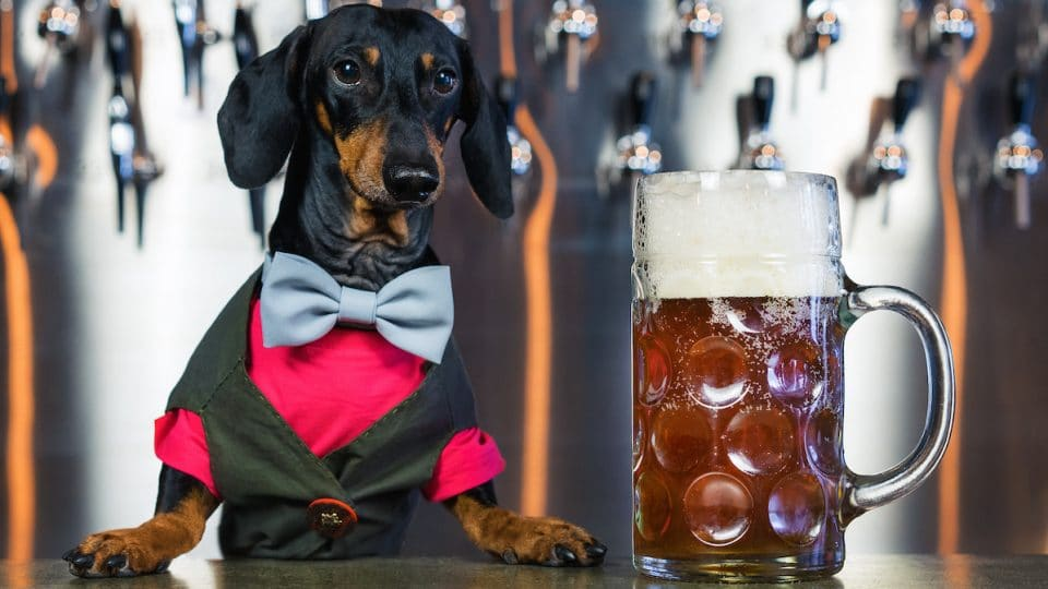 Doxie dressed in bow tie at bar