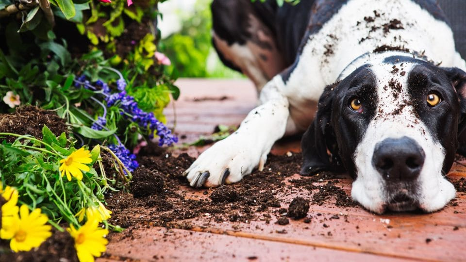Dalmatian digging in potted plants
