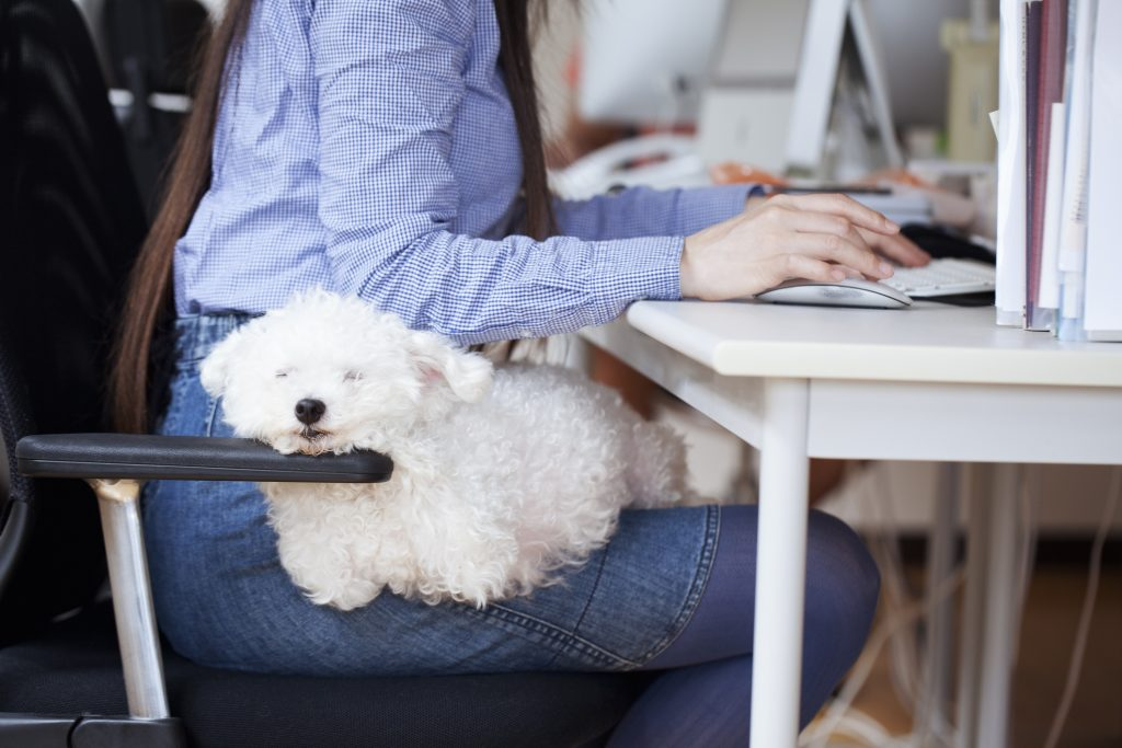 white lap dog sleeping on a woman's lap as she's working